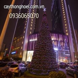 Cây thông khổng lồ cao 12 mét